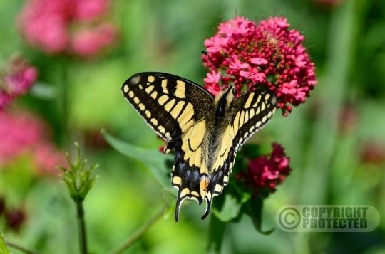 De koninginnenpage (Papilio machaon)