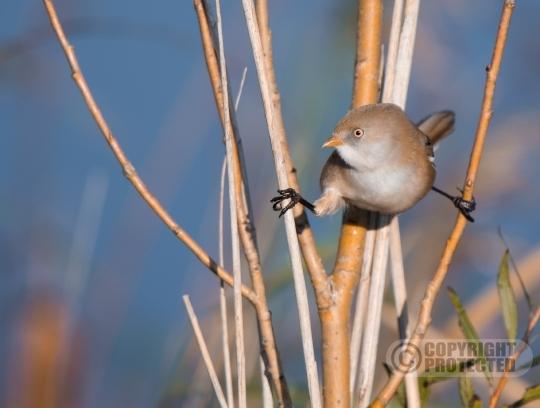 Baardmannetje (Female)