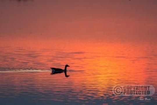 Grauwe gans in zonsondergang Harderbroek